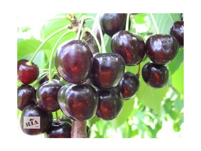 продам Саженцы крупноплодных сортов вишни и черешни бу в Киеве