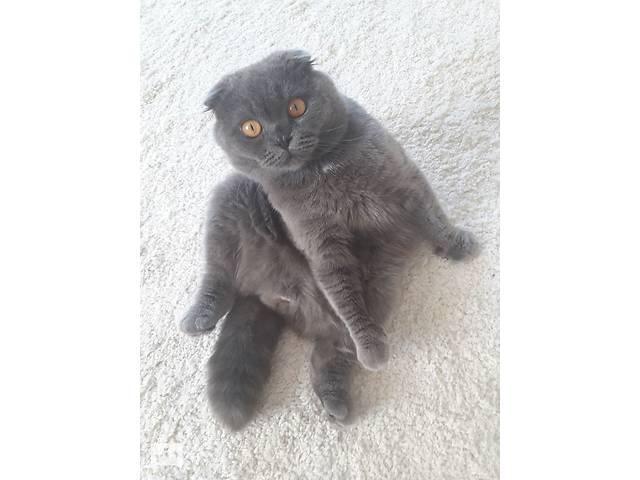 бу Британский котик для вязки в Луцке