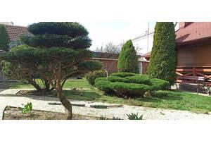 Професійна обрізка всі видів дерев та кущів, топіарна формово-контурна стрижка, ландшафтні роботи.