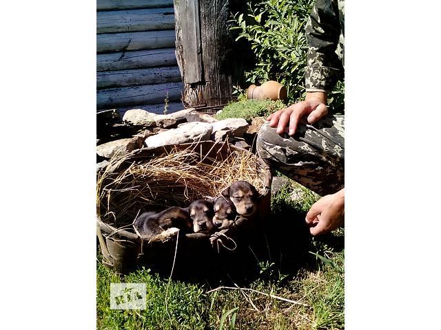 продам Щенки Русской гончей бу в Овруче