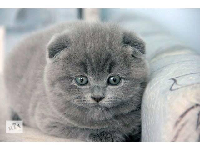 Шотландская кошка Шотландская вислоухая (Скоттиш-фолд) девочка- объявление о продаже  в Донецке