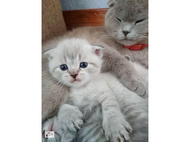 Шотландські весловухі і прямовухі кошенята- объявление о продаже  в Тернополе