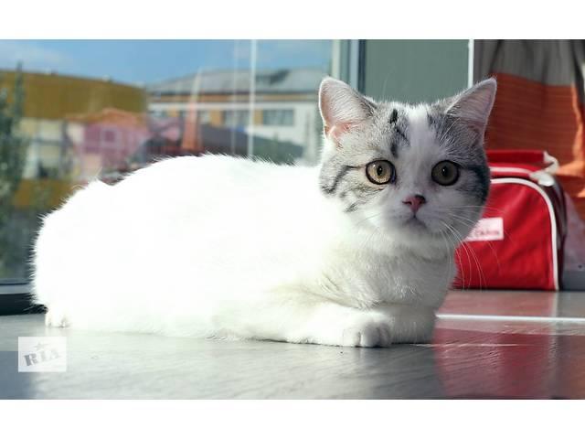 бу Шотландские котята для Вас! в Донецке