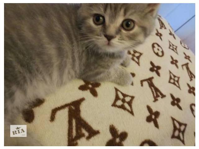 бу Шотландские прямоухие котята!  в Киеве