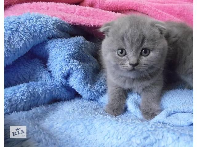 купить бу Шотландские котята вислоухие (Скоттиш-фолд)  в Виннице