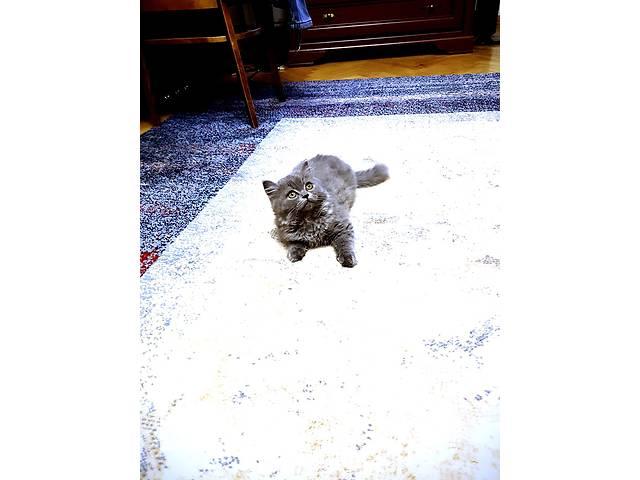 продам Шотландский котенок хайленд страйт бу в Киеве