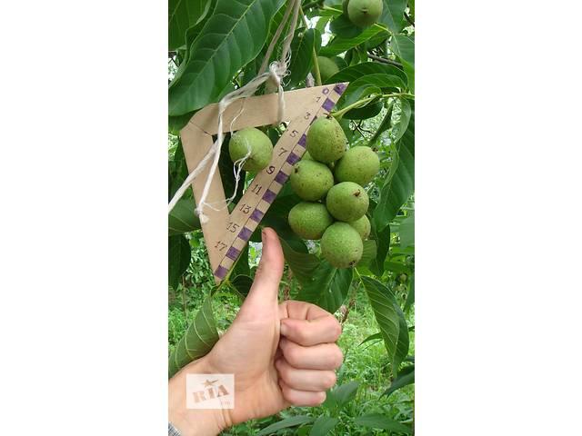 купить бу Скороплодный орех в Золотоноше