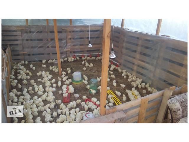 продам Супер цыплята бройлер. КОББ 500 бу в Дымере