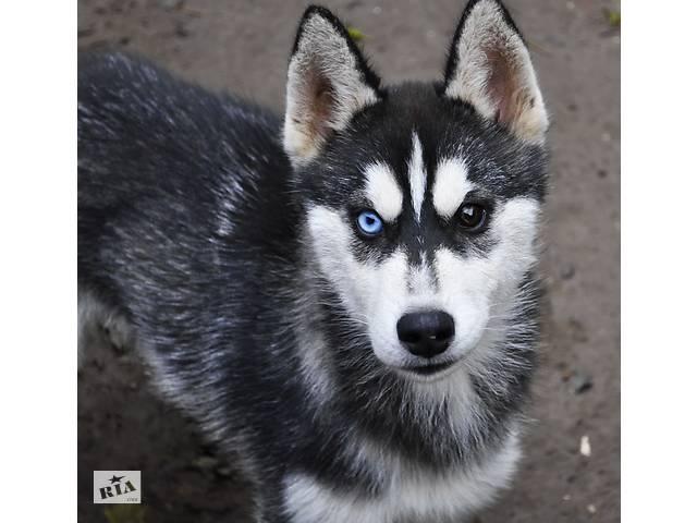 продам Сибирский хаски - собака для всей семьи бу в Херсоне