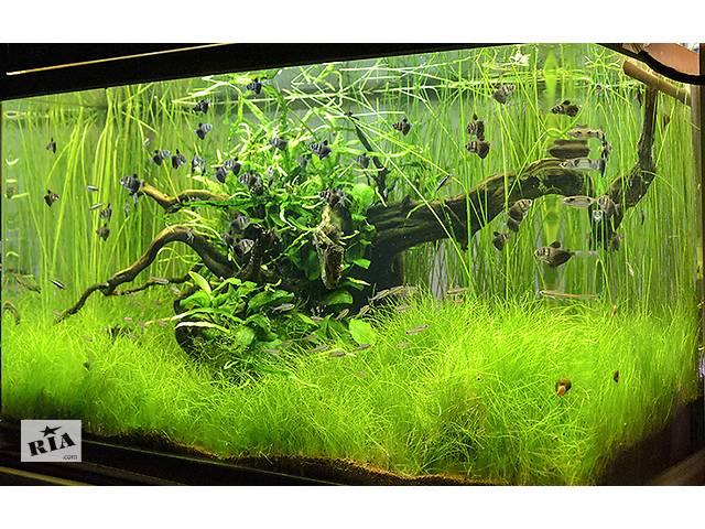 Ситняг Гигантский. аквариумные растения- объявление о продаже  в Киеве