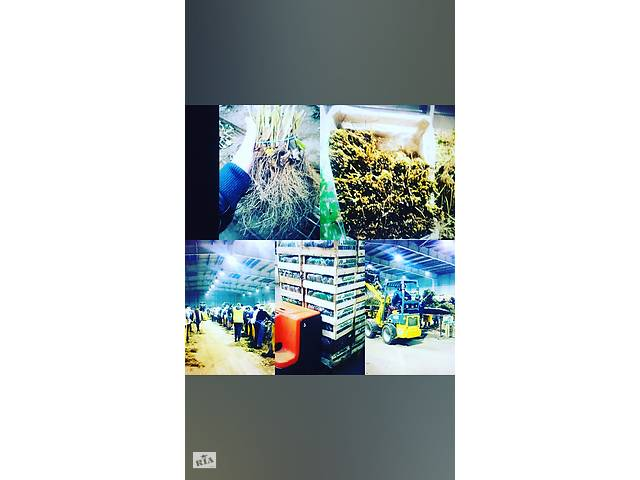 Сортировка саженцев клубники- объявление о продаже   в Украине