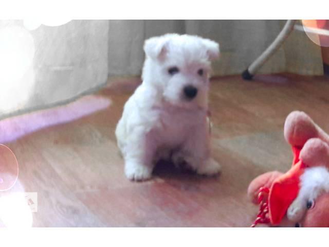 Вест хайленд уайт терьер щенки- питомник- объявление о продаже  в Киеве
