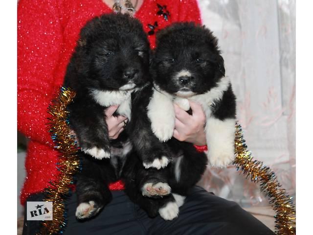 Высокопородные щенки кавказской овчарки - объявление о продаже  в Донецке