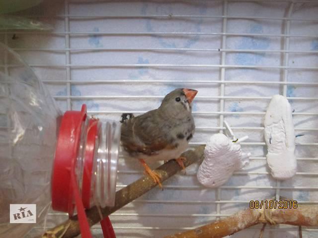 продам зебровая амадина бу в Черноморске (Ильичевск)