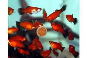 Аквариумные рыбки Пецилия (Red Platy, Red Wagtail Platy)