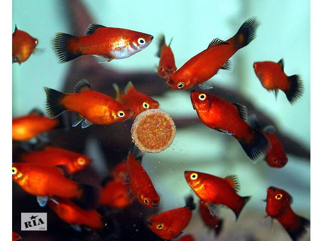 продам  Аквариумные рыбки Пецилия (Red Platy, Red Wagtail Platy)  бу в Херсоне