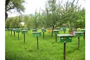Бджоломатки (пчеломатки) Карпатка типу Синевир 2020