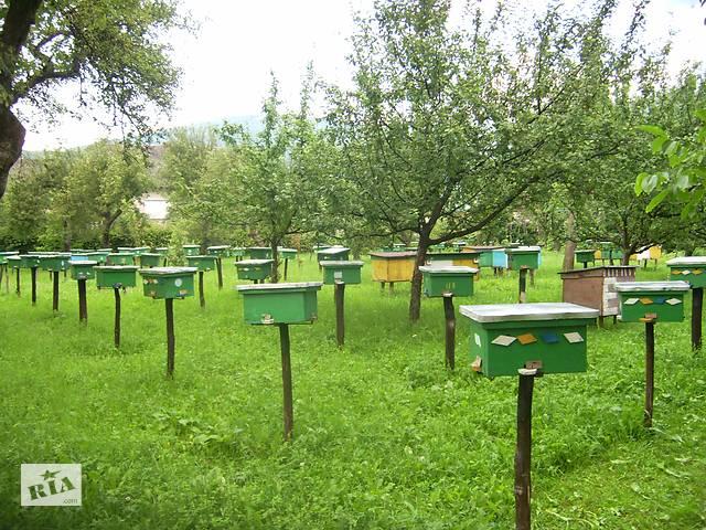 купить бу Бджоломатки (пчеломатки) Карпатка типу Синевир 2020 в Хусте