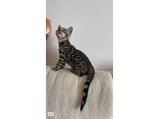 продам Бенгальские котята BENn24 мальчик и две девочки 🐆🐆🐆 бу в Киеве