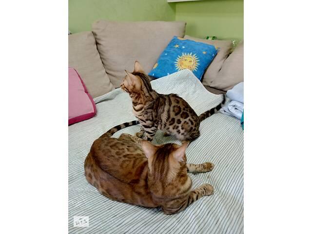 Бенгальские котята. Питомник