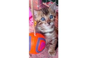 Бенгальский котенок,кошеня,бенгальские котята кошенята,бенгал