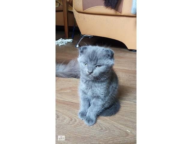 Шотландский котенок висловухе- объявление о продаже  в Остроге