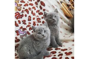 Британские короткошёрстные котики