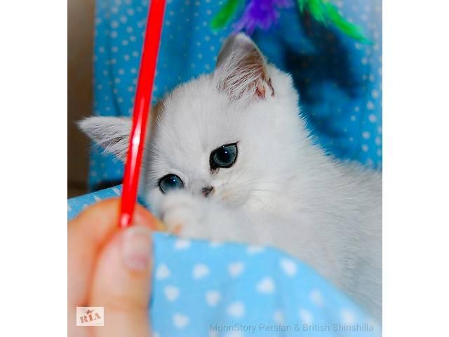 купить бу Британские котята серебристая шиншилла в Одессе