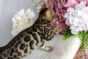 Чистокровні бенгальські кошенята