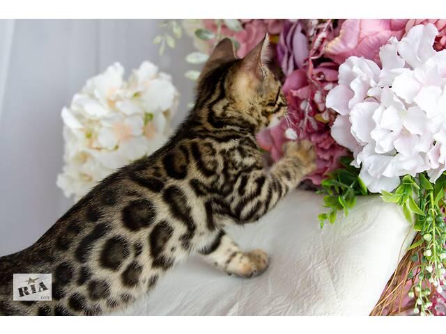 купить бу Чистокровні бенгальські кошенята в Львове