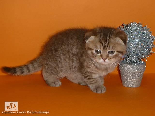 Чистокровные котята Шотладські- объявление о продаже  в Ивано-Франковске