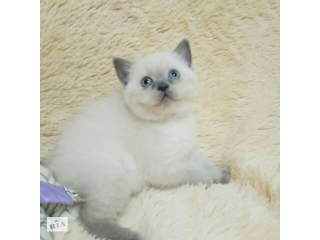 продам Чистокровные британские котята бу в Кривом Роге