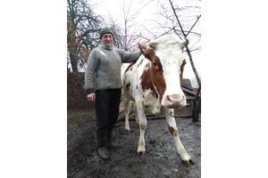 Дійна корова