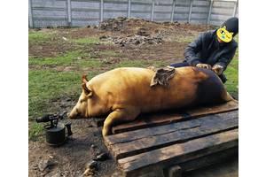Свинью, свинину, м'ясо на сало и колбаски.
