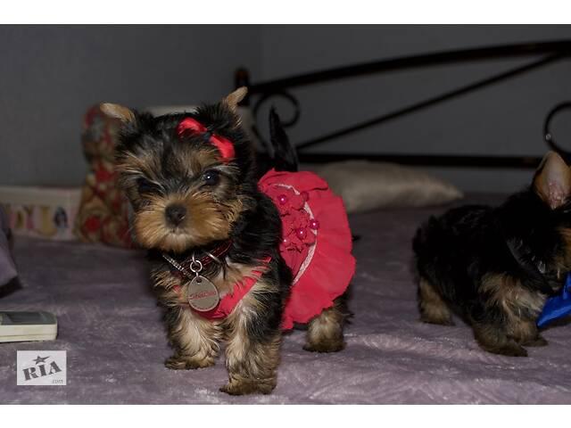 Элитные щенки Йоркширского терьера- объявление о продаже  в Киеве