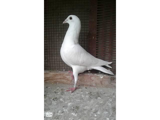 голуби - объявление о продаже  в Львове