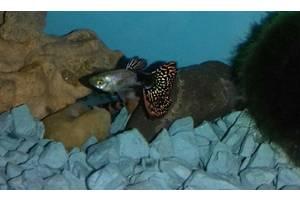 Гуппи кобра кружево, аквариумные рыбки