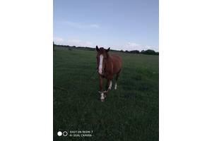 Кінь 8 років