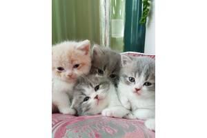 Котята шотландские ищут родителей!