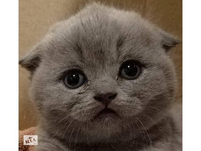продам Кошенята шотландські висловухі. Плюш - блакитний. 2 щеплення. Паспорт. бу в Дніпрі (Дніпропетровськ)