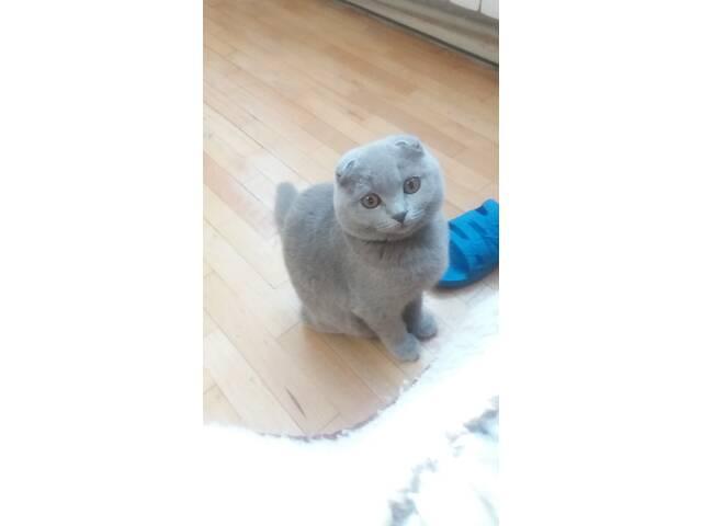 Котик,кошеня, британець- объявление о продаже   в Украине