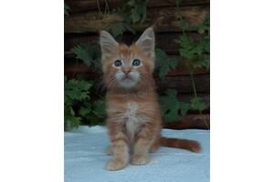 Котики Мейн Кун.