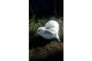 """Кролики породы """"Альбинос"""""""