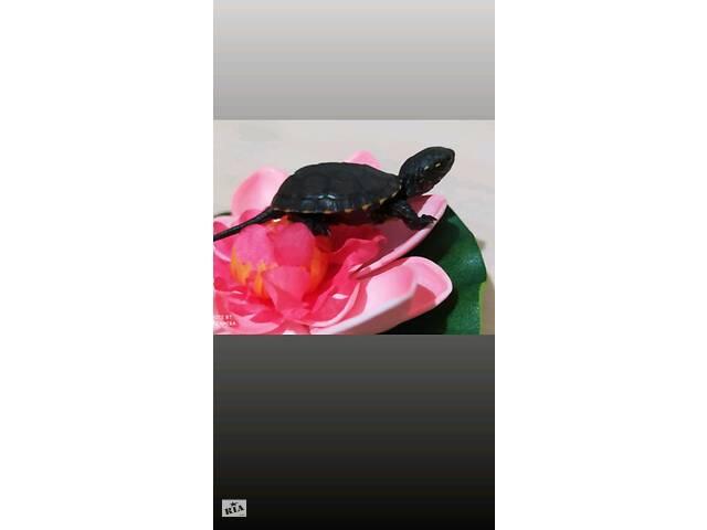 купить бу Маленькая европейская черепаха. Доставка по Украине  в Киеве