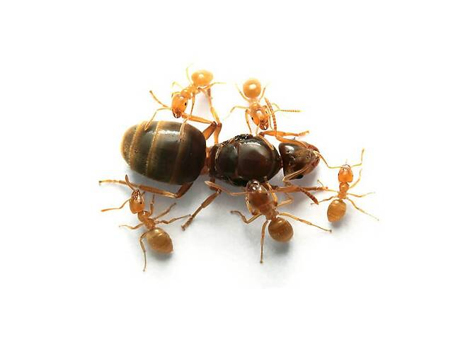 "бу Муравьи вида ""Lasius flavus"" - "" Жёлтый муравей"" в Одессе"