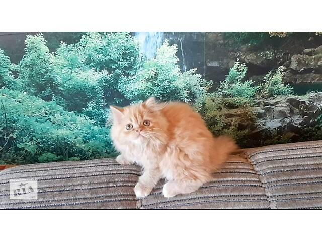 Очаровательная рыжая персидская кошечка