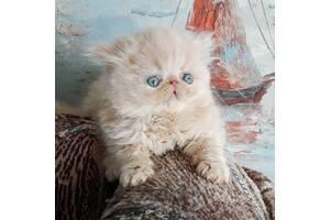Очаровательные малыши персы