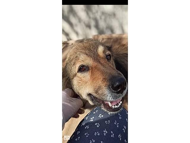 Отдам собак-улыбак в хороший руки бесплатно- объявление о продаже  в Киеве