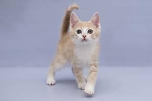 Отдам в хорошие руки котенка мальчика Элвиса .