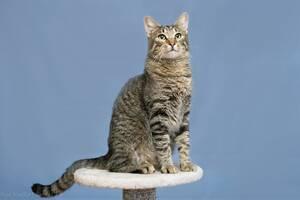Отдам в хорошие руки молодого красивого котика Баюна.